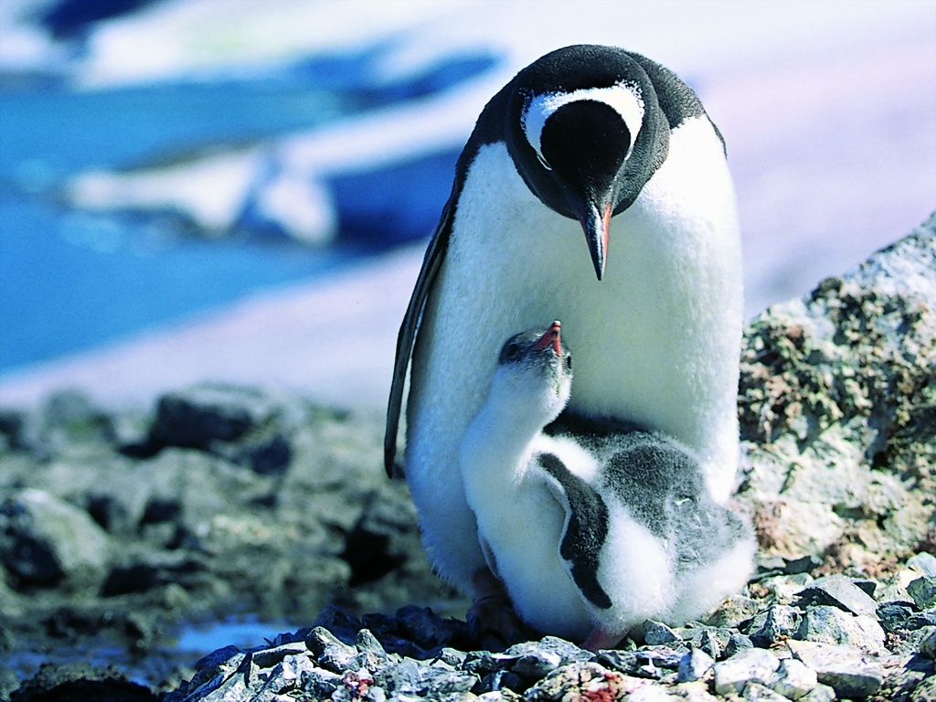 penguin animals animal mammal penguins baby cute kingdom biggest mother bird chicks child endangered labels pinguino mom much zealand