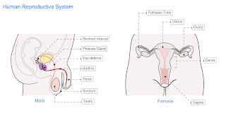 Male Reproductive System Blank Diagram, Male, Free Engine