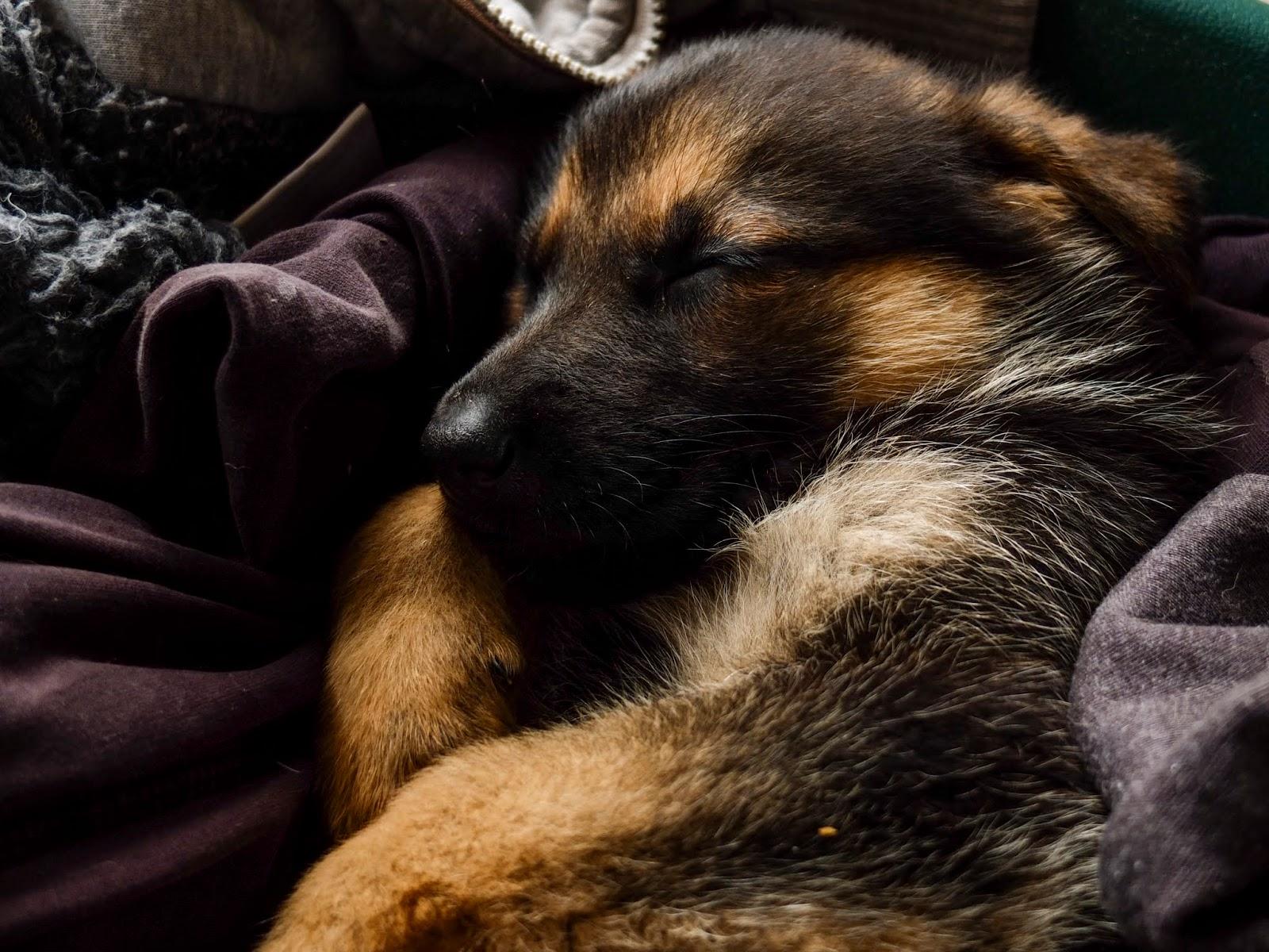 A sleeping German Shepherd 6 week old puppy.