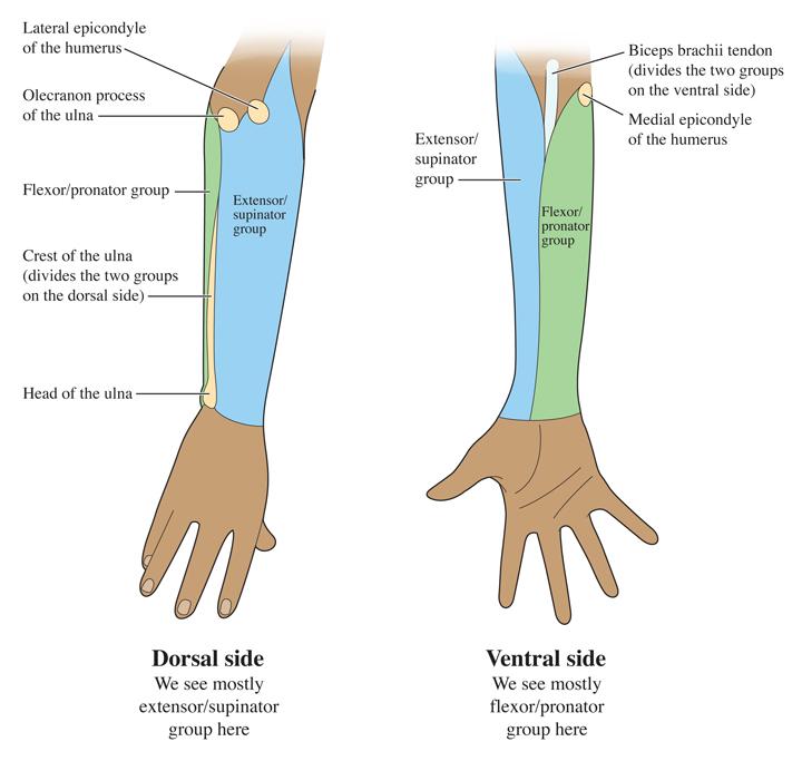 Vascular Anatomy of the Forearm |Dorsal Arms