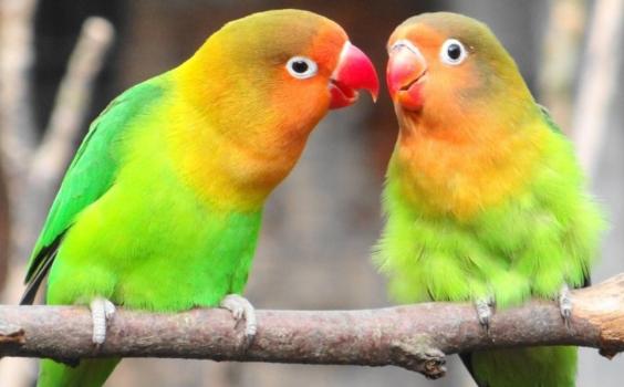 Download Suara Burung Lovebird Ngekek Mp3