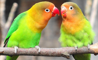 Suara Burung Lovebird Ngekek Panjang