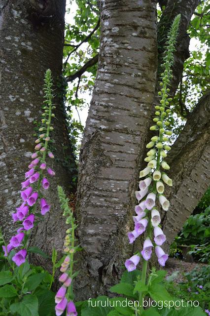 Historikk og oppskrift på en cottage garden. Revebjelle mot en vakker trestamme.