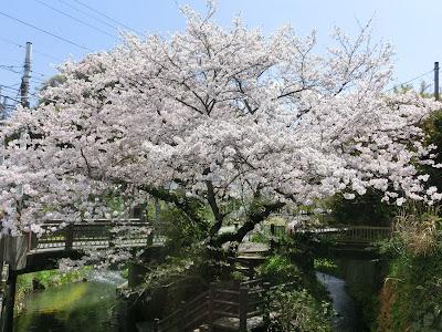 華ノ橋の桜