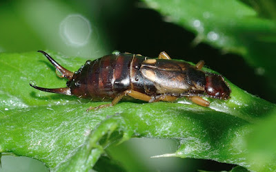 facts about earwig bugs