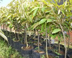bibit durian duri hitam,jual bibit durian duri hitam,rasa buah manis legit,bibiht kualitas unggul