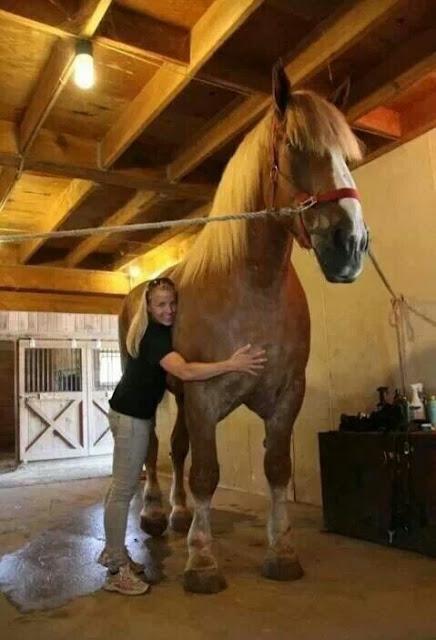 #6 Ο μεγάλος Jake: Το άλογο από το Wisconsin έχει ύψος 2,10 μέτρα και ζυγίζει 1 τόνο και 18 κιλά.