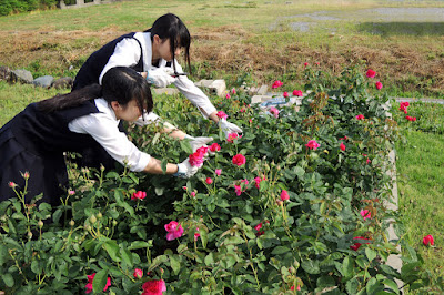 バラの収穫