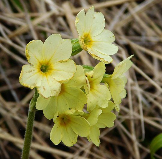 Pierwiosnki (Primula L.).