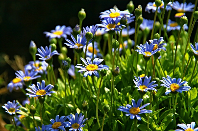 Reflexiones con flores azules guia de jardin - Arbusto pequeno con flores ...