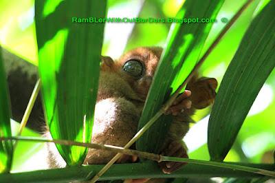 Tasier monkey, Bohol, Philippines