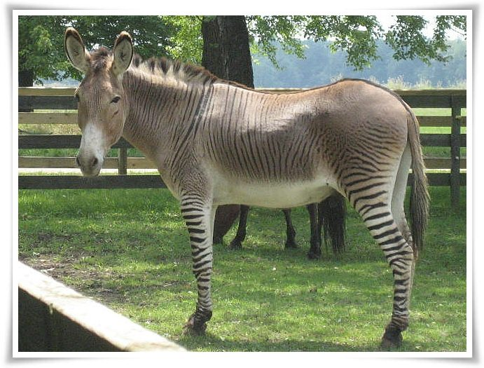 Zonkey facts and pictures