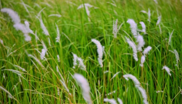 Manfaat Alang-Alang untuk Kesehatan [image by informasikesehatan1.blogspot.com],