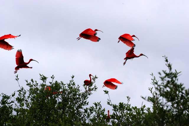 Os guarásImpressionam seus vôos coletivos que pode estender-se de 60 a 70 quilômetros até os lamaçais onde se alimentam de dia.