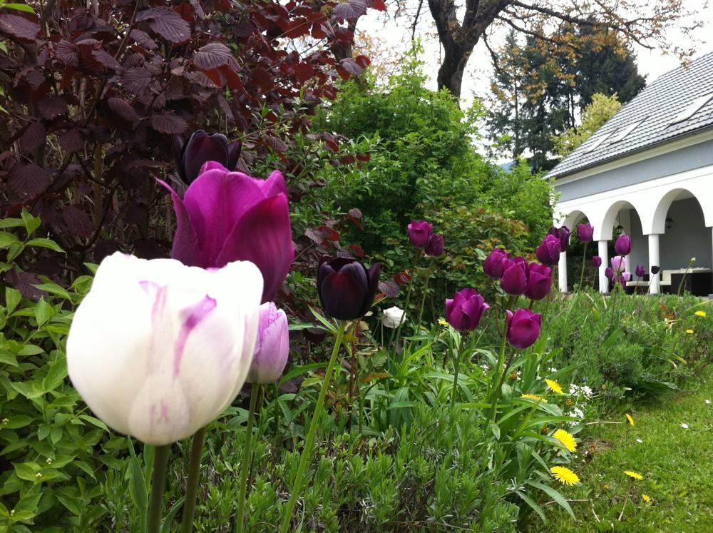 tolle gartentipps rosen und tulpen gemeinsam pflanzen. Black Bedroom Furniture Sets. Home Design Ideas