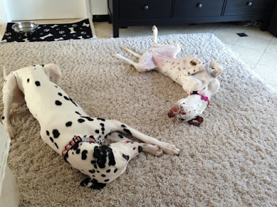 2 dalmatian dogs on a carpet
