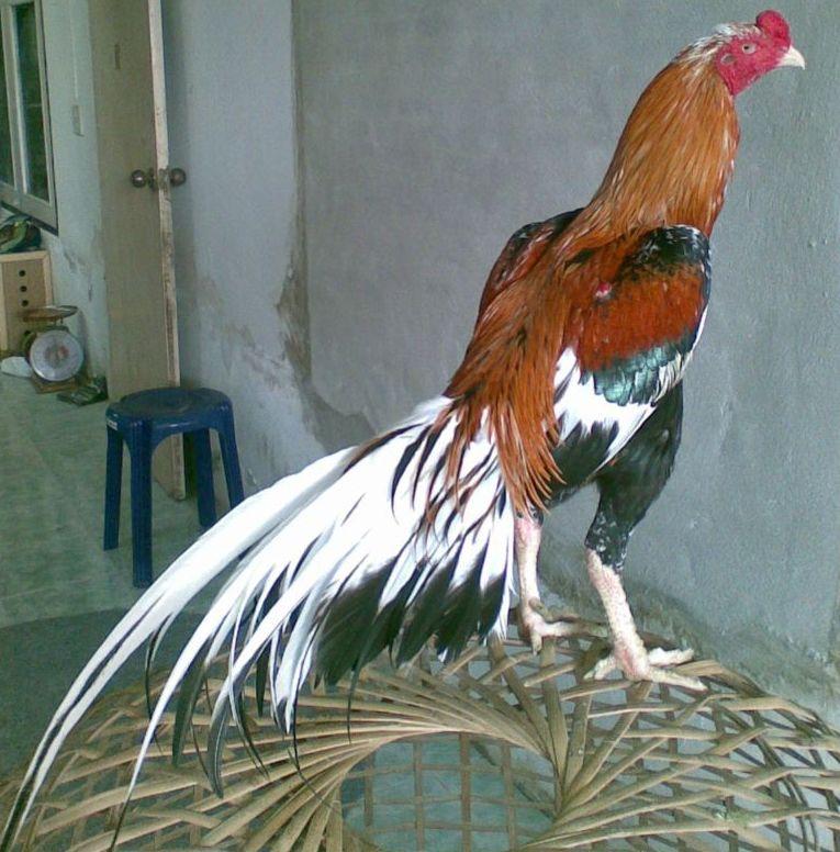 Pecinta Ayam Jago Bangkok Rahasia Melatih Pukulan Maut Ayam Bangkok