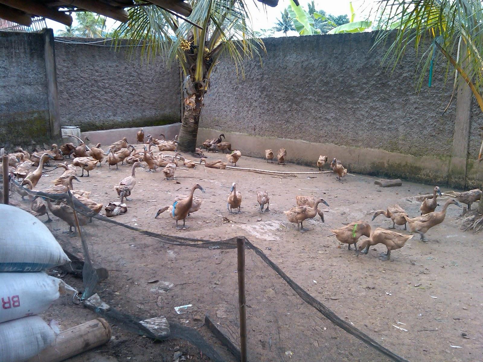 Bebek Cianjur Ayam Pelung Turunan Trah Asli Cianjur Jual Ayam Hias Golodog Lembur Kandang Bebek