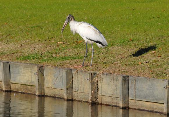 Audubon South Carolina: 2013 Great Backyard Bird Count Day1