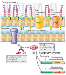 transduksi sinyal pada bakteri