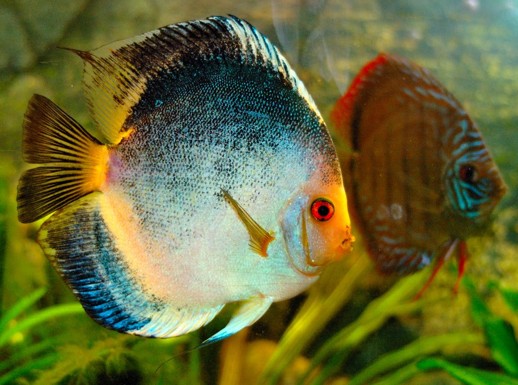 haraldi discus blue brown common and s discus heckel discus
