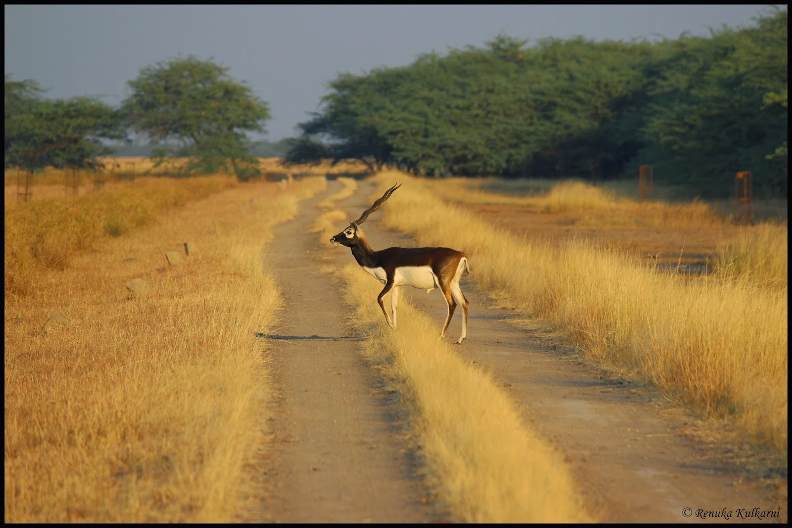 Male Blackbuck