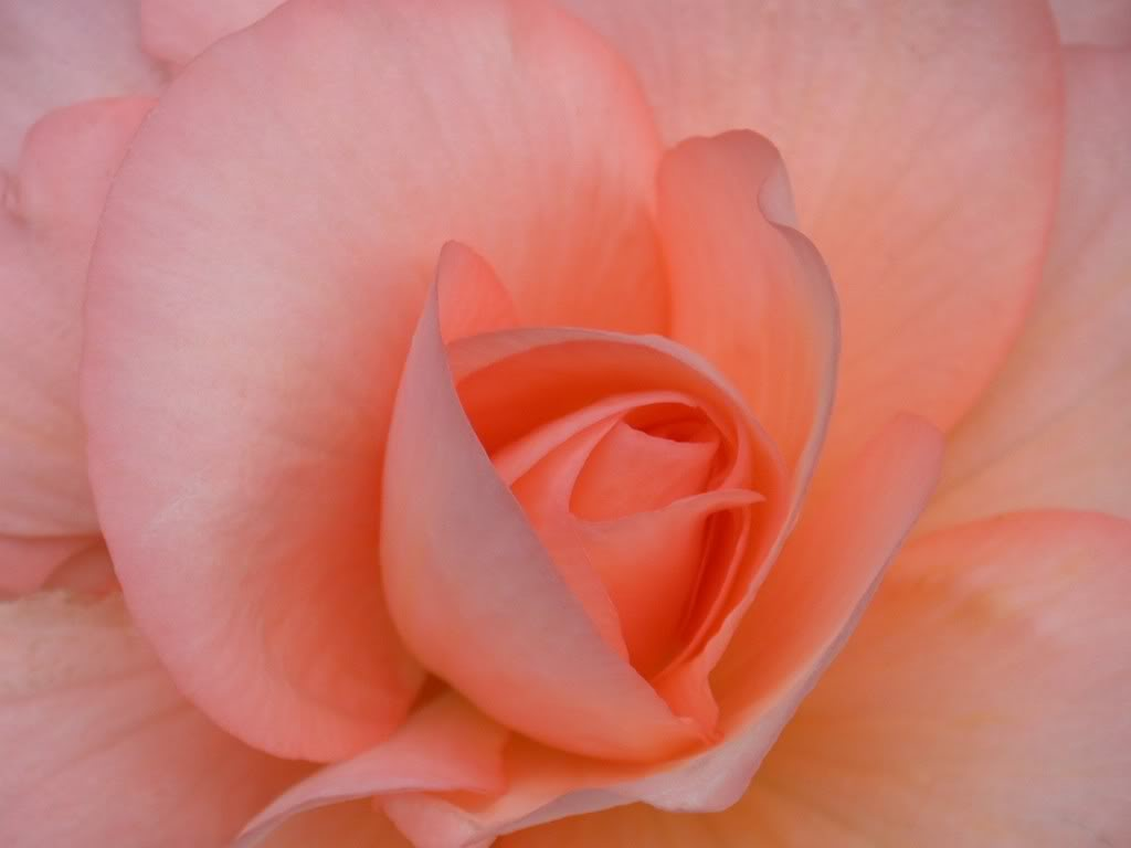 Scrapbook peach perfection - Peach rose wallpaper ...