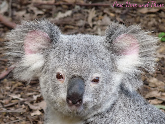 Some facts about koalas