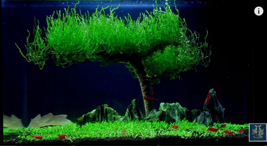 một hồ thủy sinh đơn giản chơi rêu flame