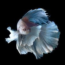 Unduh 68+ Gambar Ikan Cupang Big Ear Terpopuler