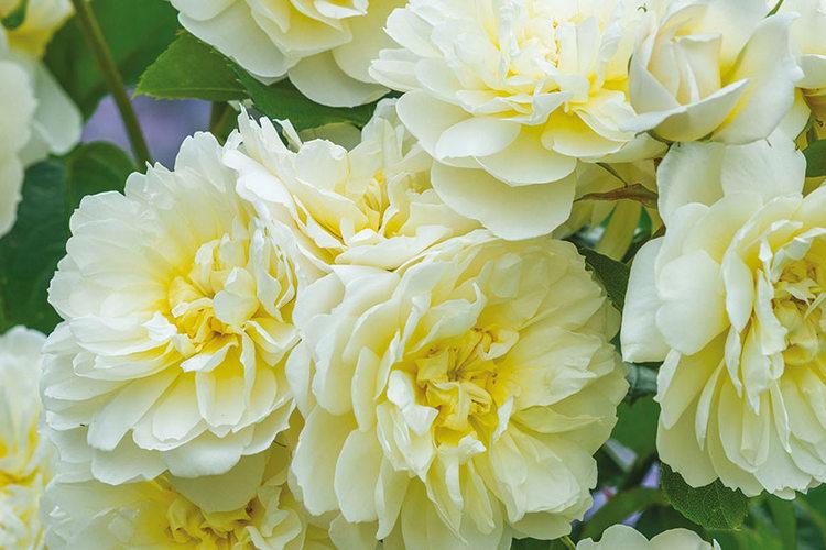 Rosa Imogen David Austin Roses