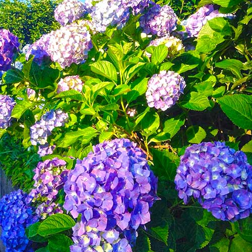 Hydrangeas (ajisai) bloom during the rainy season in June and July.