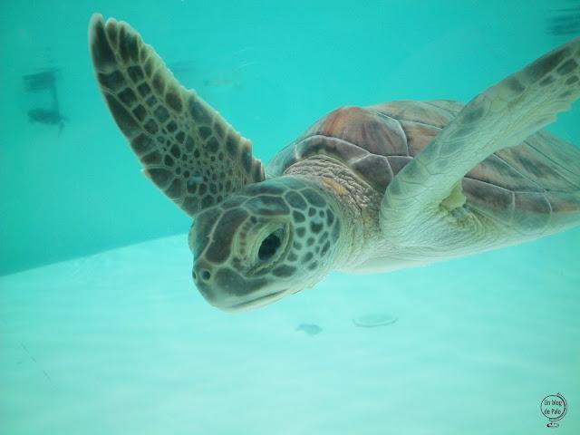 Una preciosa cría de tortuga blanca