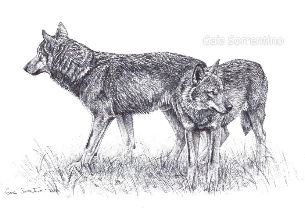 Gaia sorrentino disegnatrice naturalista coppia di for Disegni di lupi facili