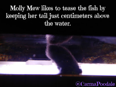 Molly Mew's tail centimeters above the aquarium