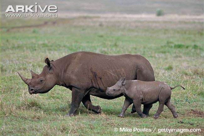 endangered african rhinoceros