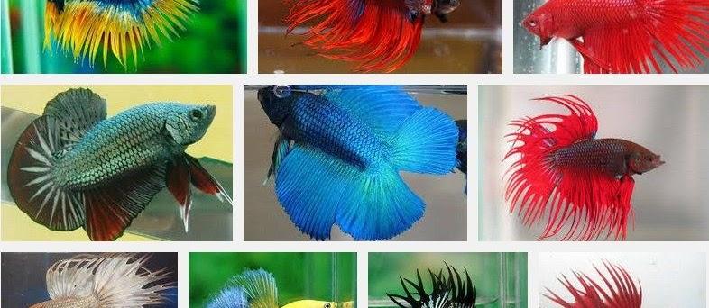 Jenis dan Harga Ikan Cupang Hias serta Aduan Termahal