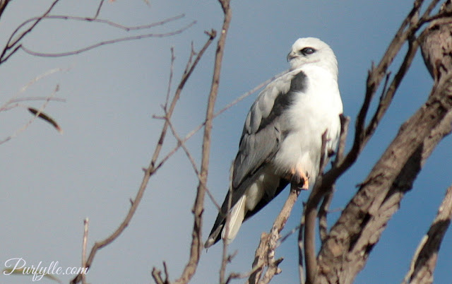 Black Shouldered Kite blinking with his nictitating membrane