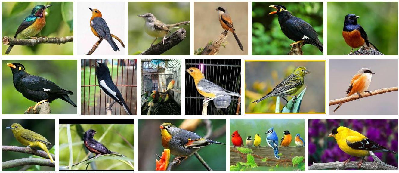 Daftar Harga Burung Kicau 2019 Terbaru Update Pasaran Burung Juara Kontes Makin Mahal Foto Burung Kicau