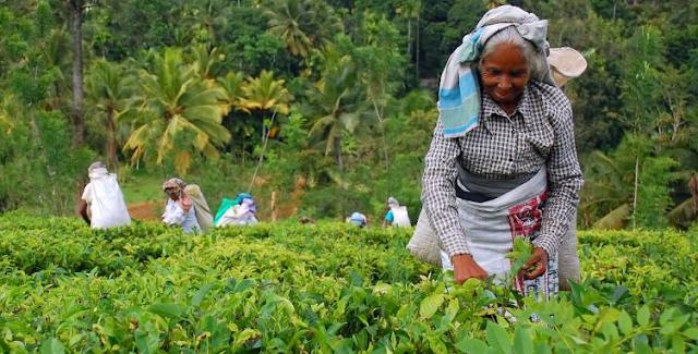 teh dari srilanka
