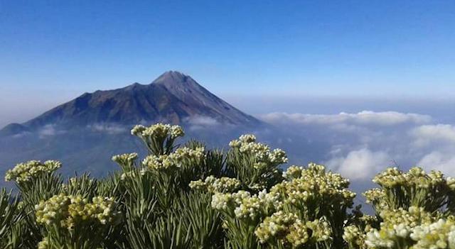 Taman Bunga Edelweis di Gunung Merbabu