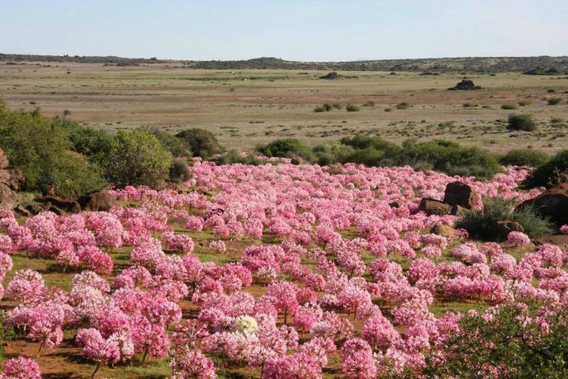 Brunsvigia Bosmaniae. Sudáfrica