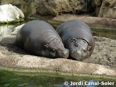Hipopótamos enanos en Bioparc Valencia