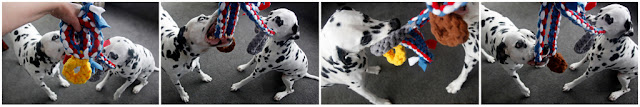 Two Dalmatian dogs playing with homemade woven fleece tug toys shaped like medals