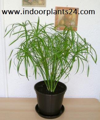 Cyperus Alternifolius Cyperaceae Umbrella Plant picture