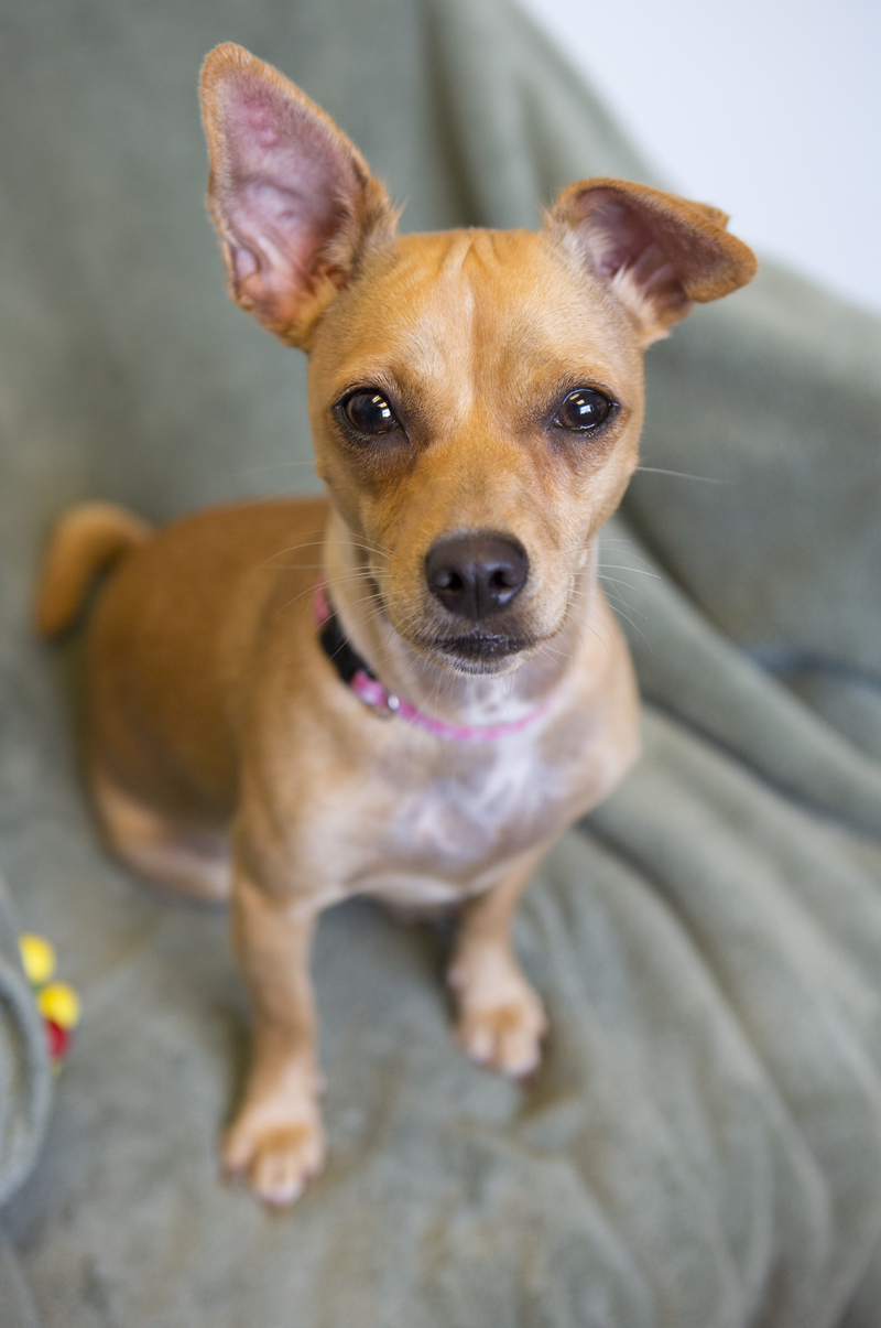 "Shelter Dogs of Portland: ""KELLY"" lovable Doxie/Chi mix"