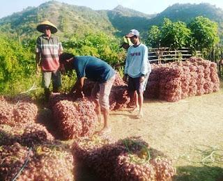 Petani Resah, Harga Jual Bawang Merah Anjlok, Harga Bibit Dan Obat-obatan Semakin Tinggi