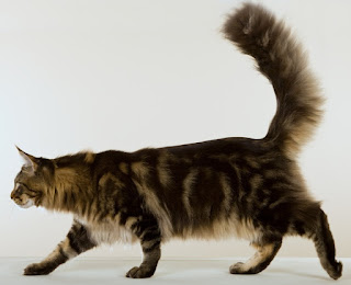 Kucing Blotched maincoon