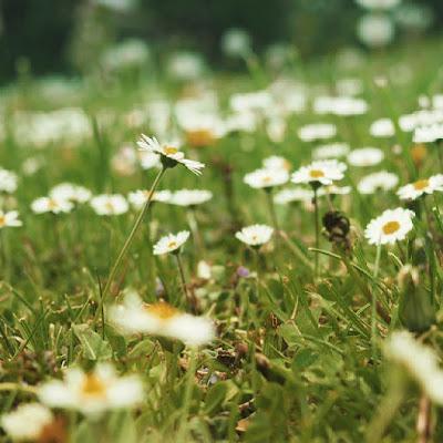 achtsamkeit-gaensebluemchen-wiese