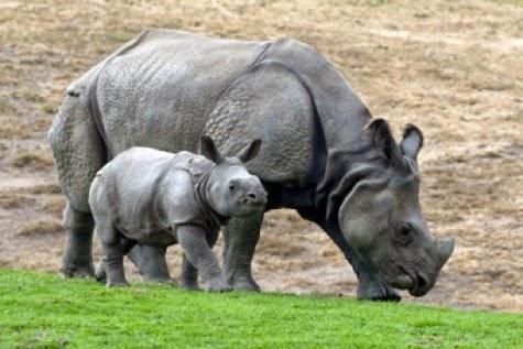 Badak - Jawa Rhinoceros